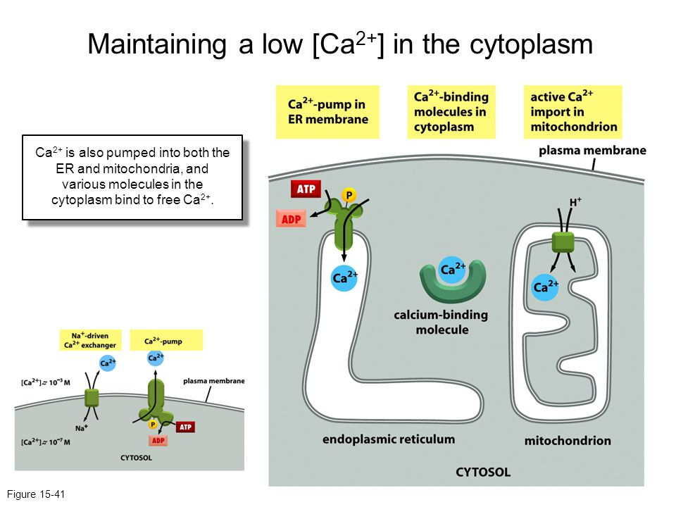 Maintaining a low [Ca2+] in the cytoplasm